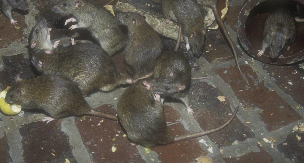 уничтожение крыс в Ейске